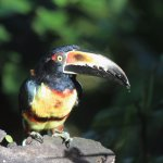 Collared aracari seen at the fruit feeders at the hotel