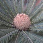 Pineapple Plant by Music Bldg, University of California, Berkeley. CA