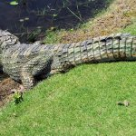 Native Alligator At the golf course