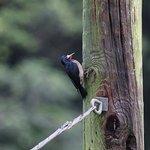 Puerto Rican Woodpecker (endemic species)