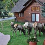 Elk wandering the Rams Horn's grounds