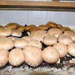The mushroom growing exhibit in the museum.