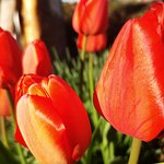 Tulipanes desde mi ventana