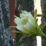 Cactus flower by restaurant entrance