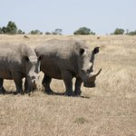 White rhinos in Ol Pejeta Conservancy