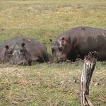 Hippos on Chobe River