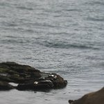 Seals on rocks taken from Room 7