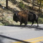 1 buffalo they did not corral at the Roundup !