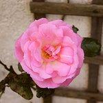 Invernairne rose