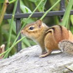 a real chipmunk!
