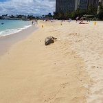 Monk seal resting on the beach at Hale Koa.