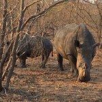 Rhinos munching