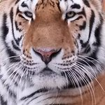 Clyde the Male Siberian Tiger