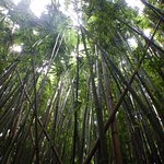 Looking up from the bamboo forest floor