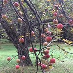 apple tree on the farm