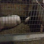 These were pop bellied pigs not very old