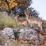 Cabras montesas en el parque natural