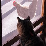 My cat met one of the local chickens when we checked in