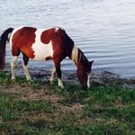 Wild Chincoteague Pony munches marsh grass near Swan Cove