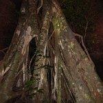 albero strangolatore