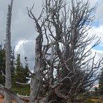 Weathered pine tree on the Bristlecone Loop