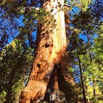 Giant Sequoia on Big Stump Trail