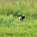 Baxter in the reeds at Lee Valley Country Park