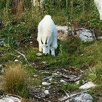 Mountain Goats along Needles HWY