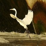 Egret takes off from the dam.