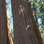 Grant Grove of Sequoia trees