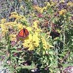Monarch butterfly on Assateague Beach