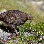 Grouse on Half Note Trail