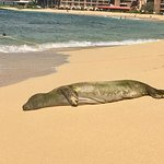 Monk Seal taking a snooze on the Beach