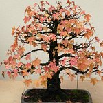 A Maple Bonsai the leaves changing