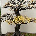 Several hundred year old Bonsai