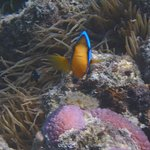 Clownfish on the local reef