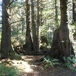A nice collection of trees growing from nurse logs on the Bell's View Trail
