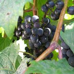 Unsere treditionelle Weinpflanze die vom Urspünglichen Besitzer gepflanzt wurde...