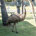 The park emu!