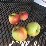 After nearly 45 minutes of searching we found four apples for picking. We should have gone earli