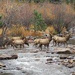 The bull elk's herd that crossed before him. Note the fisherman behind the elk.