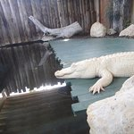 This gator looks like he's made of white chocolate.