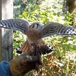 kestral stretching his wings