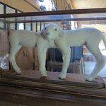 Siamese twin lambs
