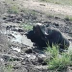 Buffalo cooling off in mud pool