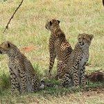 Cheetah spotting
