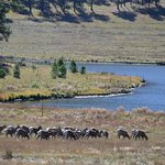 Big Horn Sheep going for a drink.