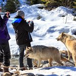 Walk with wolves in Golden BC