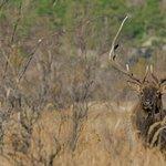 Bull Elk in the Meadows.