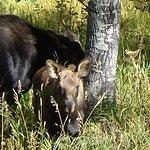 Mama & baby moose just inside RMNP.